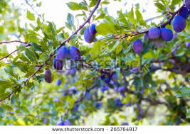 No Fruit On Plum Tree Learn About Plum Trees Not Fruiting  When Plum Tree Not Producing Fruit