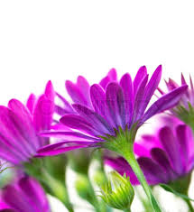 beautiful purple and white flowers. Delighful Purple Throughout Beautiful Purple And White Flowers