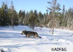 this ged female wolf was captured in late fall 2010 by adf g researchers and weighed 70 pounds counting the two pound gps collar