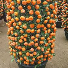 50 PCS Delicious Orange Fruit Seeds Mini Potted Orange Tree ...