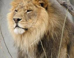 lion panthera leo animals a z animals lion