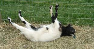 these fainting goat videos are funny no matter how many times you watch them