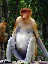 proboscis monkey female. animal you: proboscis monkeys | ✿ܓ monkey pinterest monkey, animals and female