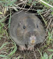 Rodents Lower Classifications Gopher Wikipedia
