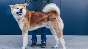Rescue Group Volunteer Attacked And Killed By Akita Dog Depend