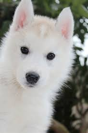 Image result for images of white dog