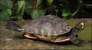 Standje schildpad