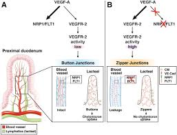 the intestinal lymphatic system