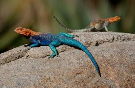 Colour In Lizards Pictures L L