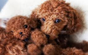 facts and photos about the teddy bear dog breed