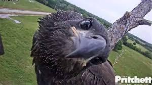 pritchett eagle cam. Delighful Eagle Eagle Cam And Pritchett ABC11 RaleighDurham