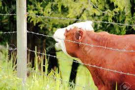 barbed wire fence cattle. A Dairy Cow Stands Behind Barbed Wire Fence Calling Out To Other Cows Nearby. Cattle Z
