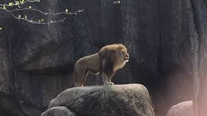 Image result for lions to roar