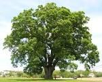 Images & Illustrations of oak tree