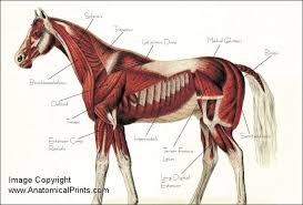 Horse Anatomy Poster 24 X 36