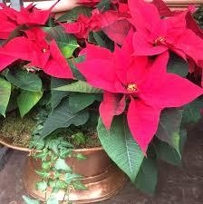 Weihnachtssterne Richtig Pflegen Andreas Home Gardening