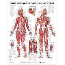 The The Female Muscular System Anatomical Chart