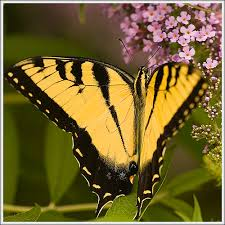 big pictures of butterflies. Wonderful Butterflies Big Yellow Butterfly  By El Raymundo On Pictures Of Butterflies L
