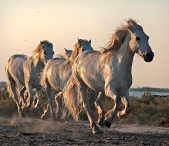 wild horses galloping. Simple Wild And Wild Horses Galloping