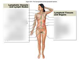 Lymphatic Chart Part 2 Diagram Quizlet
