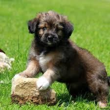 pomeranian mini australian shepherd mix. Brilliant Australian Miniature Australian Shepherd Mix Puppies For Sale To Pomeranian Mini I