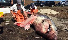 great white sharks eating people alive. Fine White The Great White Shark Was Found Washed Up On The Beach In Cape Cod And Sharks Eating People Alive R