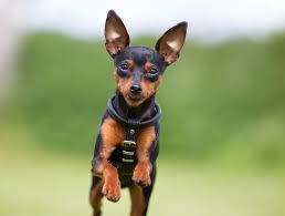 miniature pinscher running