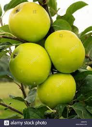 green apple fruit tree. apple \u0027golden noble\u0027, culinary, cooking variety growing on tree, fruit green tree