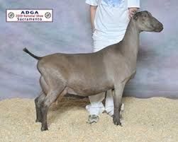 Dairy Goat Breeds Breeds Of Goats Sale Creek Veterinary Services