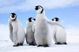 penguin. Interesting Penguin Quick Name Three Things You Know About Penguins Weu0027ll Wait Jeopardy  Theme Music Plays If All Came Up With Was 1 Theyu0027re Black And White 2 In Penguin