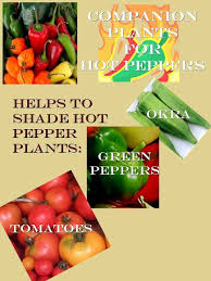 Companion Plants For Hot Peppers On The Homestead Pepper