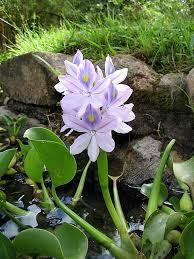 Pontederiaceae - Wikipedia