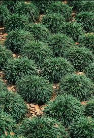 Image of: The Dwarf Mondo Grass Ideas