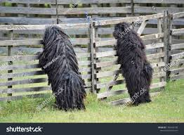 Hungarian Dog Breed Puli Stock Photo ...