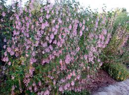 2nd Post  CISTUS Rock Rose Wonderful Dry Tolerant Plants Many Shrub With Pink Flowers