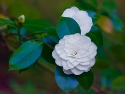 camellia flower symbolism images symbol and sign ideas camellia flower symbolism choice image symbol and sign