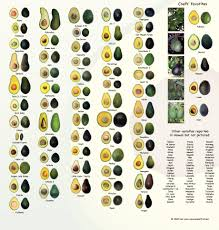 Avocado Varieties A Brief Guide To Some Of The Most Loved