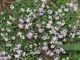 sweet alice lobularia maritima has masses of tiny white and or purple flowers that attract hoverflies and parasitic mini wasps