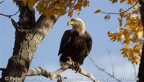 Bald Eagle Age Chart Bald Eagle Montana Field Guide