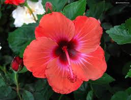 hibiscus flowers hibiscus flower varieties