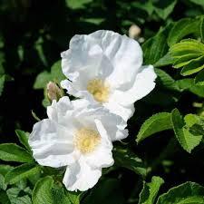 rosa rugosa alba white ramanas rose