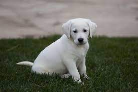White Labrador HD Wallpapers and ...