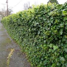 wire fence covering. English Ivy On Chain Link Fence , Green Is Wire Fence Covering E