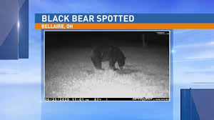In canada because they are. Authorities Alert Residents To Black Bear In St Clairsville Area Wtov