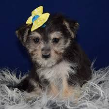 morkiepoo puppy for sprig female deposit only