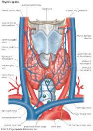 Thyroid Anatomy Thyroid Gland Anatomy Britannica