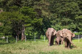 essay on elephants resume templates good writing service water for  photo essay elephants at the elephant nature park non stop elephant her at the elephant nature