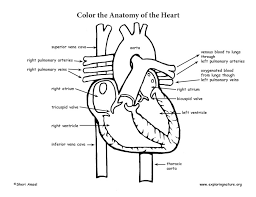 Small Picture Circulatory System Coloring Pages Miakenasnet