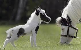 baby mini horse.  Horse Baby Einstein A Tiny Miniature Horse And Mini O