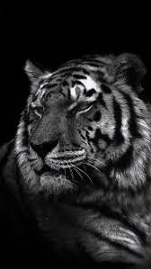 white tiger iphone 5 wallpaper.  White Iphone 5 Wallpaper Tiger On White Tiger Wallpaper N